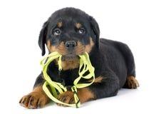 Puppy rottweiler en leiband Stock Afbeeldingen