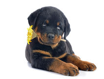 Puppy rottweiler and flower Stock Photos
