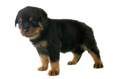 Puppy rottweiler Stock Photo