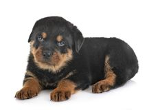 Puppy rottweiler in studio. Puppy rottweiler in front of white background royalty free stock photography