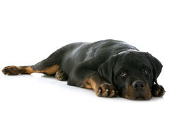 Puppy rottweiler Royalty Free Stock Image