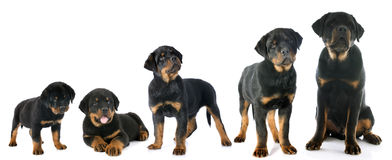 Puppy rottweiler. Portrait of a purebred puppy rottweiler in front of white background Royalty Free Stock Photography