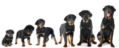 Puppy rottweiler Royalty Free Stock Photography