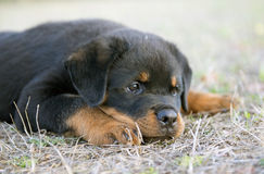 Puppy rottweiler Stock Photography