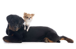 Puppy rottweiler and rottweiler Royalty Free Stock Photography
