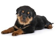 Puppy rottweiler in studio. Puppy rottweiler in front of white background stock photos
