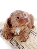 Puppy on a rug Royalty Free Stock Photography