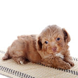 Puppy on a rug Royalty Free Stock Photo