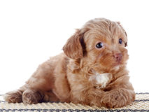 Puppy on a rug Royalty Free Stock Images