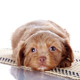 Puppy on a rug Stock Images