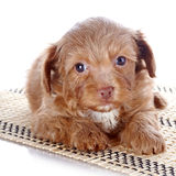 Puppy on a rug Stock Photos