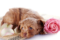 Puppy on a rug with a pink rose Stock Images