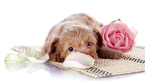 Puppy on a rug with a pink rose Royalty Free Stock Photos