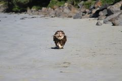 Puppy run on sandy beach with a stick in mouth Stock Photo