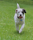 Puppy Runnin in the Grass Royalty Free Stock Images