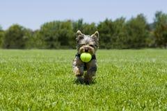 puppy running Arkivfoton