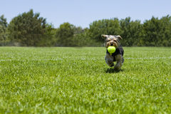 Puppy running Royalty Free Stock Image