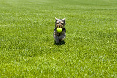 Puppy running Stock Photography