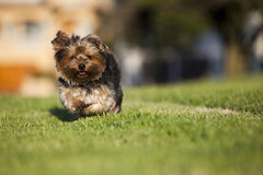 Puppy running. Small puppy running on the grass Royalty Free Stock Photo