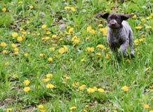 Puppy running Stock Image