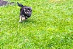 puppy running fotografering för bildbyråer