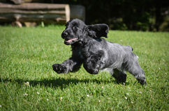 Puppy running Stock Photos
