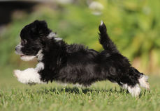 A puppy running in a field. A black and white Irish pied Havanese puppy is running on the green grass Royalty Free Stock Photos