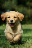 Puppy running in a garden Royalty Free Stock Photo
