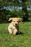 Puppy running in a garden Stock Photos