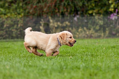 Puppy running in a garden Royalty Free Stock Photos