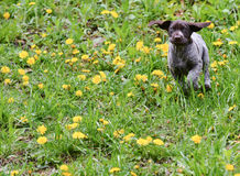 Puppy running Stock Image