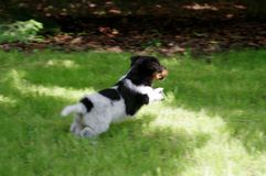 Puppy is running on grass. The puppy is running on the grass. The little dog gets to know the world with curiosity. Young hunter stock photos