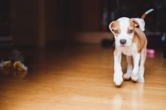 Puppy running in the house. Amstaff puppy running in the house and toys are on the floor royalty free stock photography