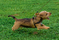 Puppy running on lead. Puppy running and barking on lead Stock Photos