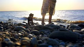 Puppy running near it owner legs in pebble beach. Puppy running near it owner legs in the beach during sunset. HD. 1920x1080 stock footage