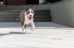 Puppy running with tongue out royalty free stock photo