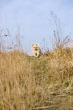 Puppy running in wild field. A single puppy is running in the wild grass field Royalty Free Stock Photography