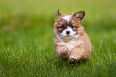 Puppy runs Royalty Free Stock Photo