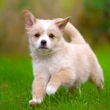 Puppy runs Royalty Free Stock Image