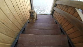 Puppy runs up the stairs