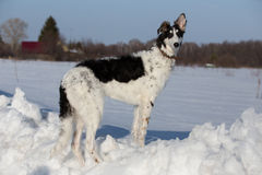 A puppy of russian hound. Walking in winter countryside Royalty Free Stock Images