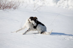 A puppy of russian hound walking in winter countryside. / Stock Photos