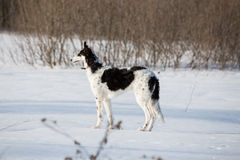 A puppy of russian hound walking in winter countryside.  Royalty Free Stock Photo