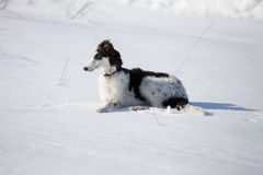 A puppy of russian hound walking in winter countryside. / Stock Image