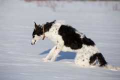 A puppy of russian hound walking in winter countryside.  Royalty Free Stock Images