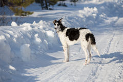 A puppy of russian hound walking in winter countryside.  Royalty Free Stock Photos