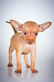 Puppy Russian toy terrier Royalty Free Stock Images