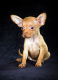 Puppy Russian toy terrier Stock Image