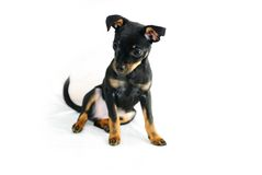 Puppy of russian toy-terrier Royalty Free Stock Photos