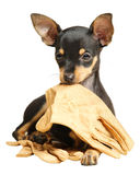 Puppy Russkiy toy terrier lying with gloves. Puppy Russkiy toy terrier with smoothed hair lying with beige gloves in the mouth. Black and tan. Isolated, over Royalty Free Stock Photo